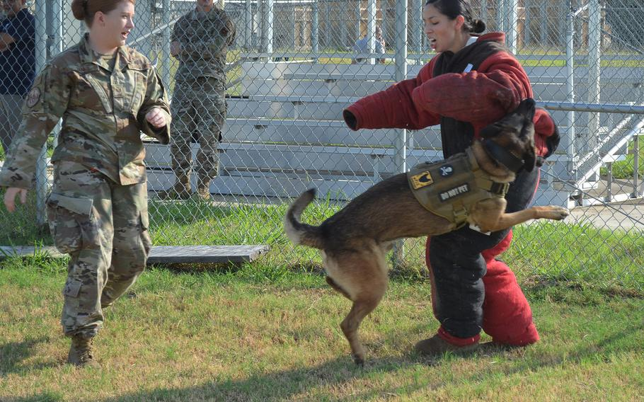 Staff Sgt. Sarah Banks commands 6-year-old Tarzan, a German shepherd, to attack Staff Sgt. Brittney Turco during a demonstration of military working dogs Thursday at Joint Base San Antonio in Texas. Banks and Tarzan, a narcotic detection dog, have worked together for one year.