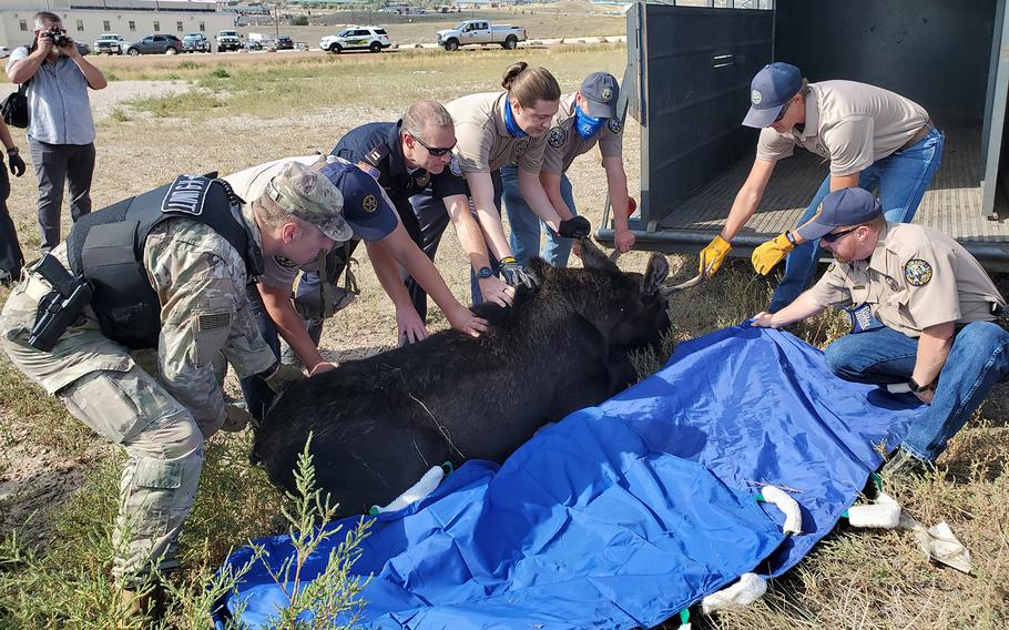 Personnel from Fort Carson assist wildlife experts from Colorado Parks and Wildlife Southeast Region to relocate a 700-pound bull moose from the Army base back into wetlands Monday after the moose was spotted near buildings and traffic.