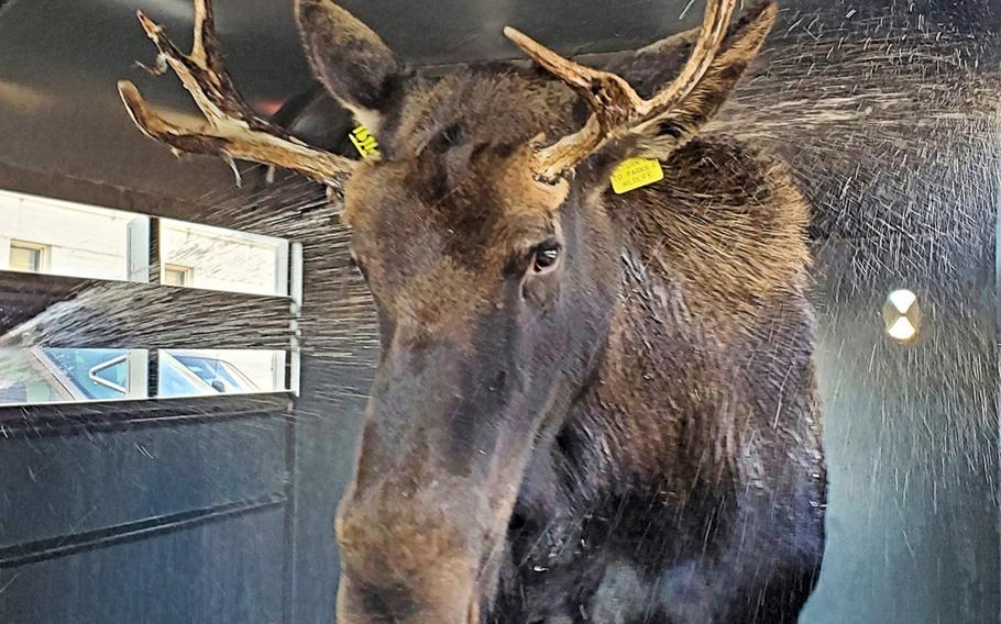 Before returning a 2-year-old bull moose found Monday at Fort Carson back to the wild, Colorado Parks and Wildlife personnel gave the 700-pound animal a bath to cool it off and reduce stress.