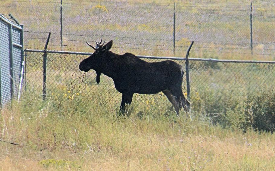 A 700-pound, 2-year-old bull moose was spotted Monday at Fort Carson, Colo., near buildings and traffic. Colorado Parks and Wildlife sent a team out to the Army base to relocate the moose back to the wetlands in the mountains.