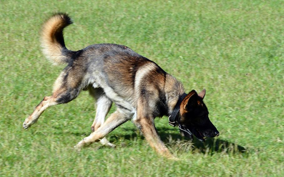 Diego, a military working dog, sniffs to pick up the trail of a tennis ball during a demonstration at Marine Corps Base Hawaii, Feb. 7, 2020.