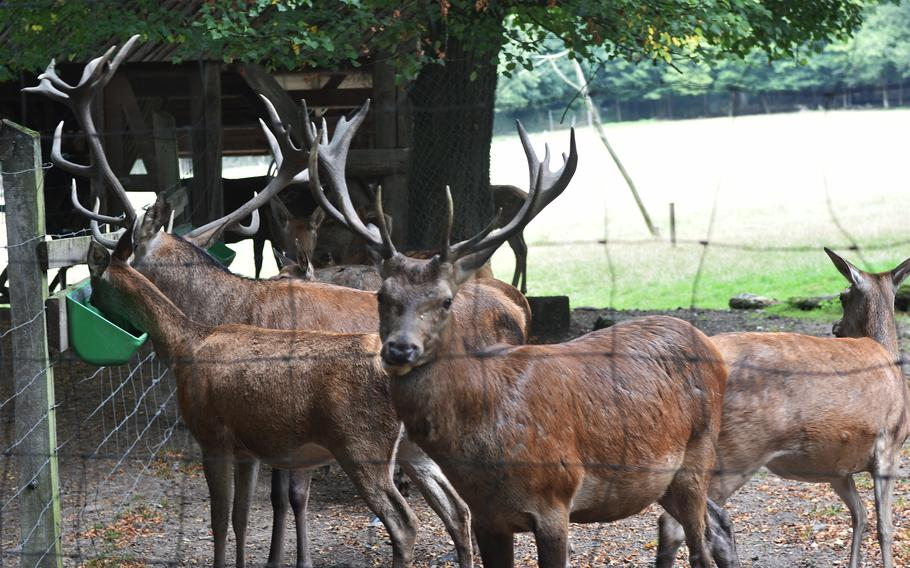Deer, including several bucks displaying their antlers, at the Tier-und Pflanzenpark Fasanerie in Wiesbaden, Germany,  Sept. 1, 2021.