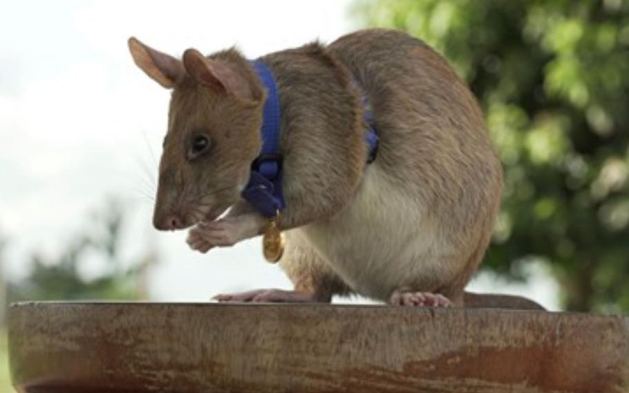 Magawa, a 6-year-old African pouched rat, has traversed the Southeast Asian nation to sniff out mines left behind after decades of war.