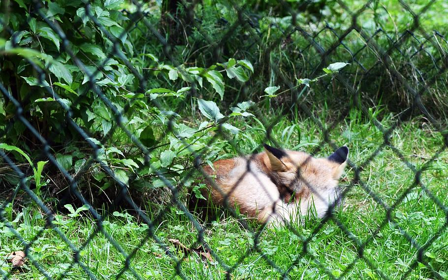 A fox naps in its enclosure Sept. 1, 2021, at the Tier- und Pflanzenpark Fasanerie in Wiesbaden, Germany.