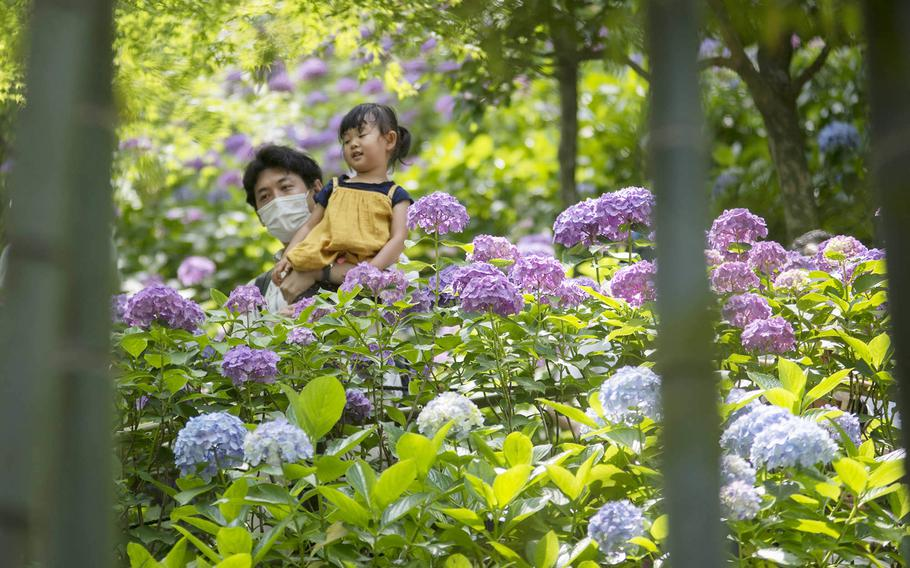 Masks were a common sight among people viewing the hydrangeas at Hasedera Temple in Kamakura, Japan, Friday, June 11, 2021.