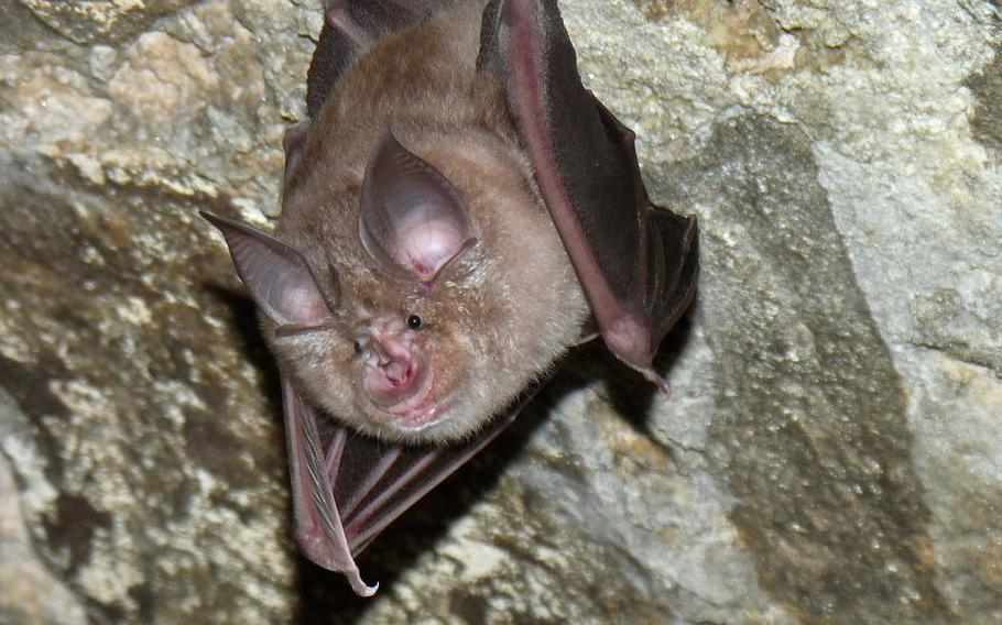 The 7th Army Training Command rehabilitated St. Agid Bergheim Church's apse as a bat sanctuary. The apse provides additional roosting habitat for the brown and gray long-eared bat, the pygmy bat, the pug bat and the greater horseshoe bat. Part of the project focused on saving the only reproducing population of greater horseshoe bats in Germany.