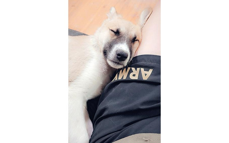 Abu sleeps against the leg of the U.S. soldier who adopted her while deployed to Jordan. A rule announced June 14, 2021 by the Centers for Disease Control and Prevention will ban soldiers from bringing dogs into the U.S. from 113 countries at high risk for rabies, including Jordan.