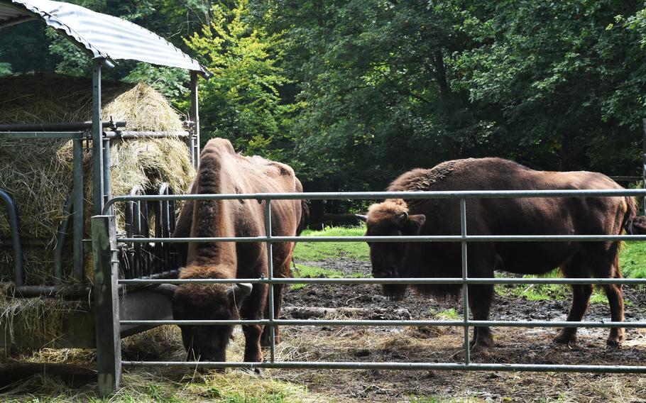 Bison graze at the Tier- und Pflanzenpark Fasanerie in Wiesbaden, Germany, on Sept.1, 2021