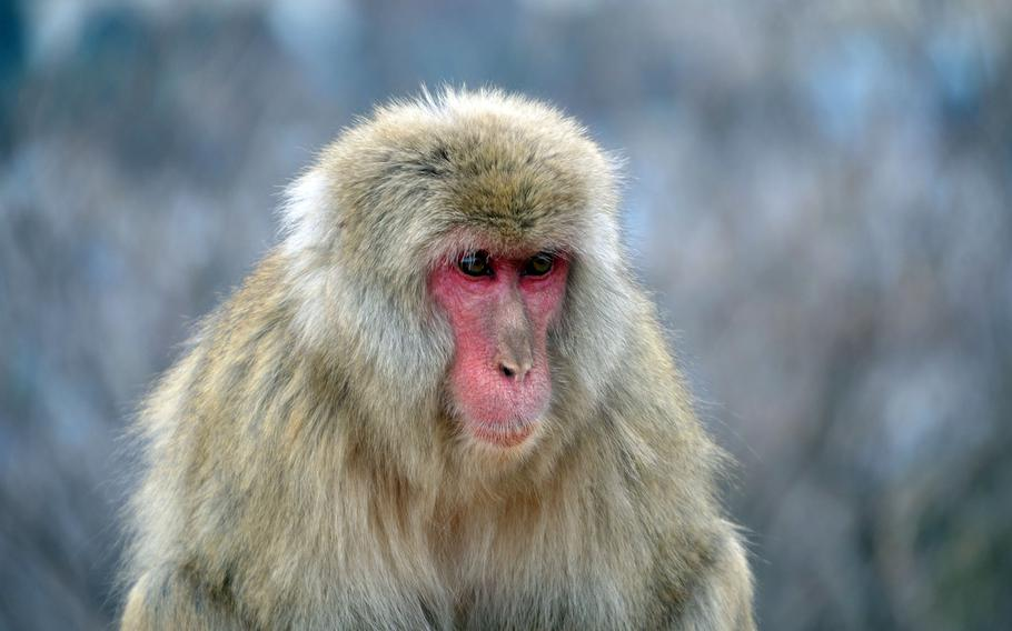 Japanese macaques are common throughout most of Japan, and inhabit forested mountain slopes right down to the fringes of Tokyo.