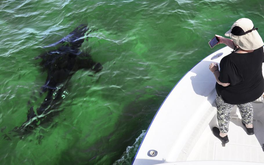 Mindi Moran, of Portland, Maine, watches a great white shark swims past while on shark watch with Dragonfly Sportfishing chartersAug. 17 off the Massachusetts' coast of Cape Cod. Cape Cod is slowly embracing its shark reputation, three summers after the popular vacation destination saw its first great white shark attacks in generations. A growing group of charter boat operators are offering shark tours to complement the region's whale and seal watching excursions.