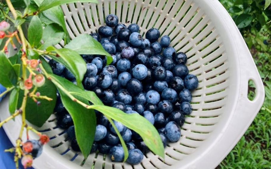 Guests can pick seasonal fruits at Berry Cottage, a farm and cafe not far from Yokota Air Base, Japan.