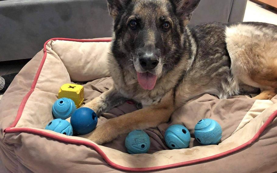 Bora, a 12-year-old German shepherd, who worked as an explosive detection dog with the 52nd Security Forces Squadron at Spangdahlem Air Base, Germany, is surrounded by toys at the home of the American family, the Gerbers, who adopted her in 2020. Bora was retired after veterinarians found she had a heart condition.