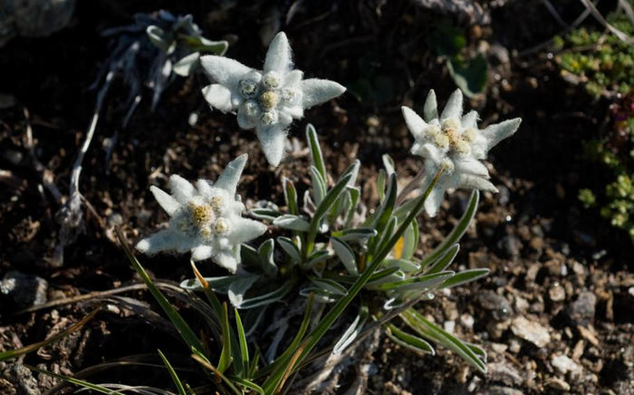 Zermatt, Switzerland, is a wonderful place to view the elusive Edelweiss, a delicate alpine flower that enjoys a protected status.