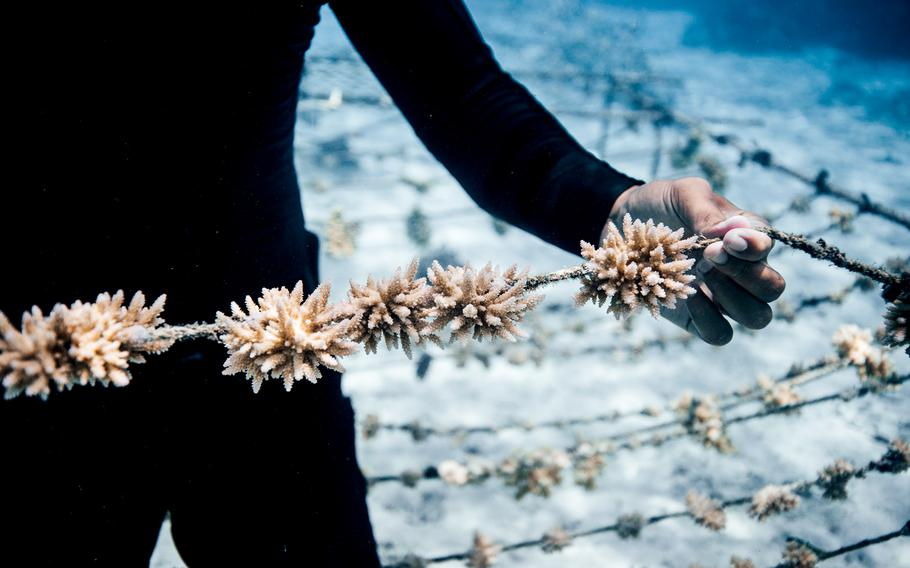 he Coral Gardeners team in Moorea, French Polynesia, identifies resistant species of coral and collects fragments. Those are attached to ropes in a nursery to grow so they can be replanted.