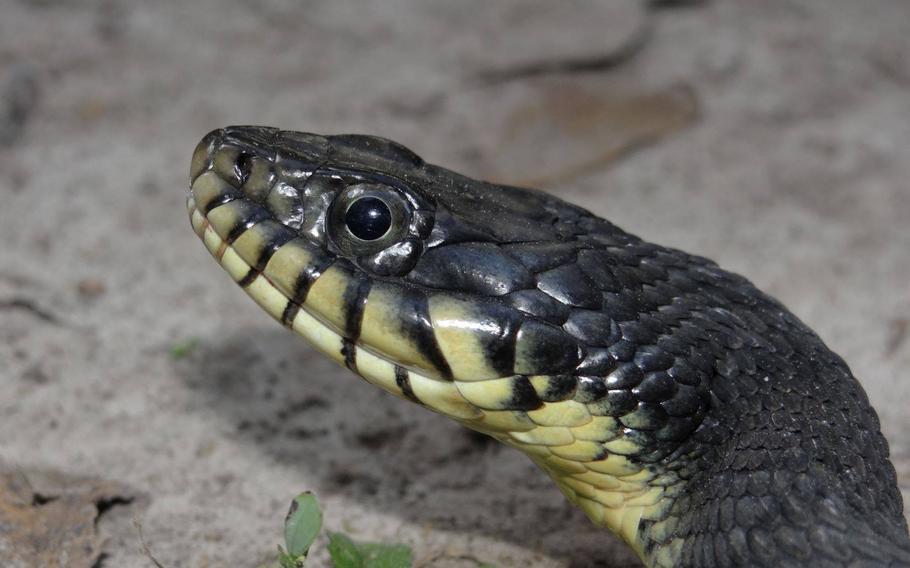 A non-infected snake.