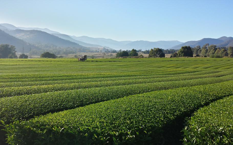 Green-tea fields in the Victorian Alpine region.