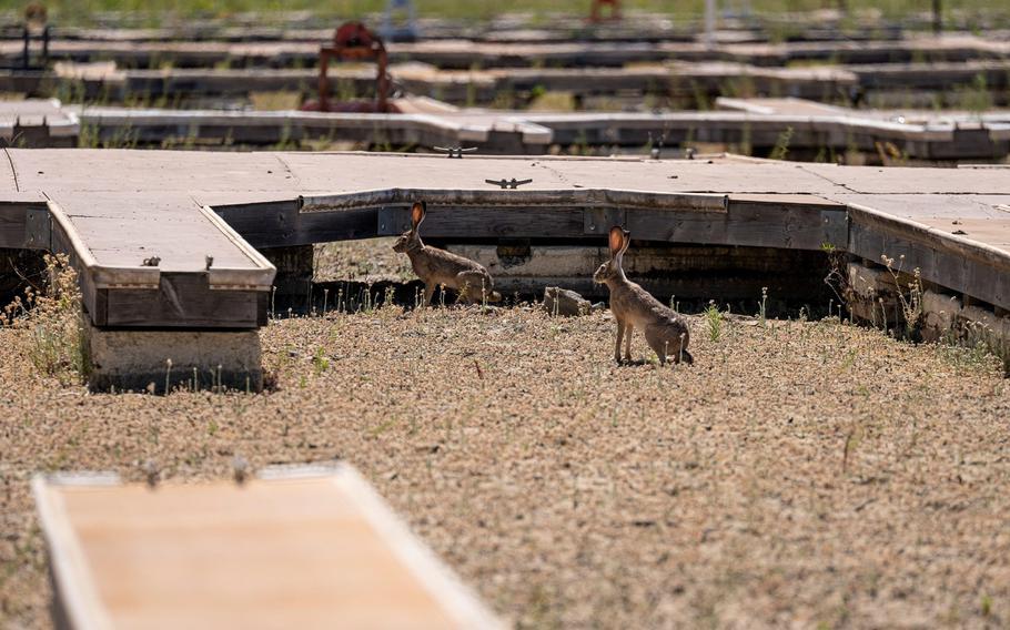 Jackrabbits on a dried lake bed at Folsom Lake Marina during a drought in El Dorado Hills, Calif., on May 25, 2021.