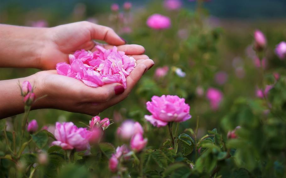 Pink-petaled Damask roses that grow in Bulgaria's Balkan Mountains are harvested and made into rose oil.