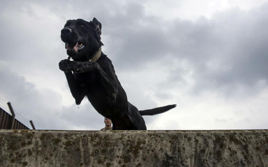 Allie, a 5-year-old Labrador retriever, jumps over an obstacle at Yokota Air Force Base, Japan on June 25, 2021. She and another military working dog, Splash, were recently transferred to the 374th Airlift Wing. of the Marine Corps in Okinawa.