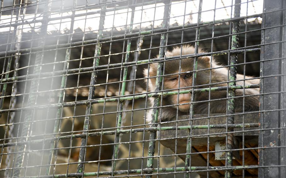 A monkey squints in its cage Kabul Zoo in Afghanistan on Aug. 12, 2021, to the delight of families who strolled through the zoo. It was a fleeting moment of calm in the days before the Taliban surrounded the city.