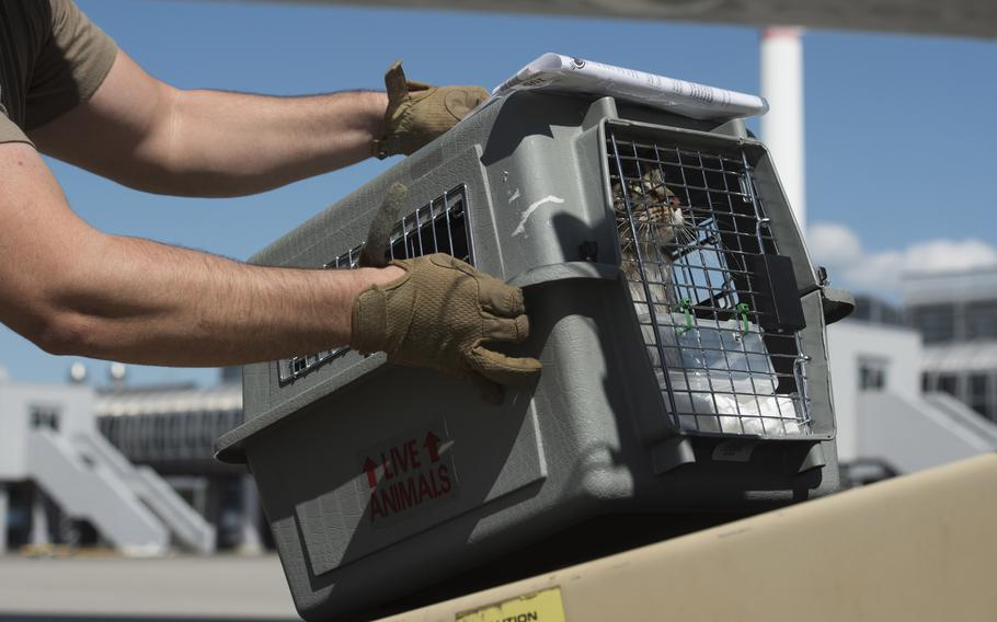 U.S. Air Force Staff Sgt. Corey Klucker, 721st Aerial Port Squadron, places a cat on a conveyor belt outside the passenger terminal at Ramstein Air Base, Germany, in May 2020. A rule change implemented in August 2021 by Air Mobility Command allows only cats and dogs to be transported as pets on Defense Department flights, including the Patriot Express.
