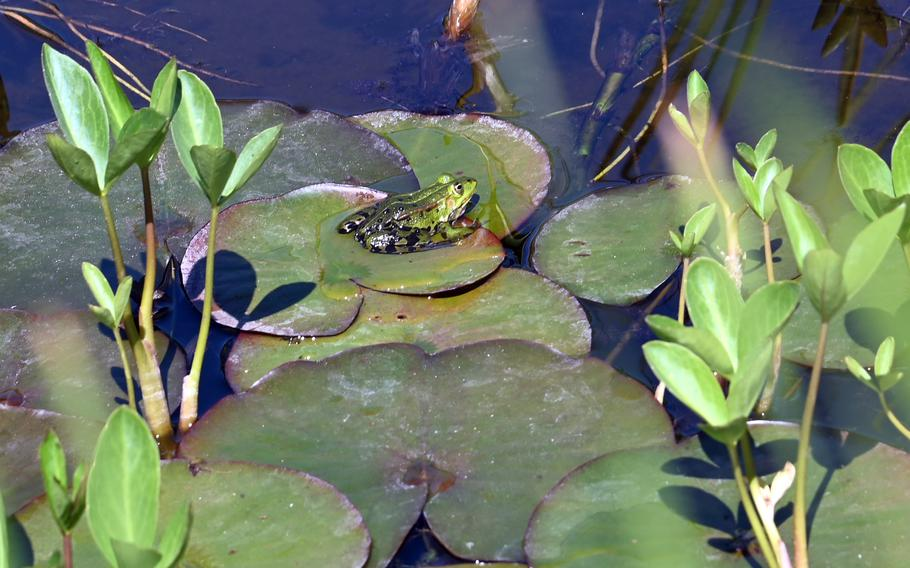 A frog sits on a lily pad in the pond in the Rosarium at  Rosenhoehe Park in Darmstadt, Germany.