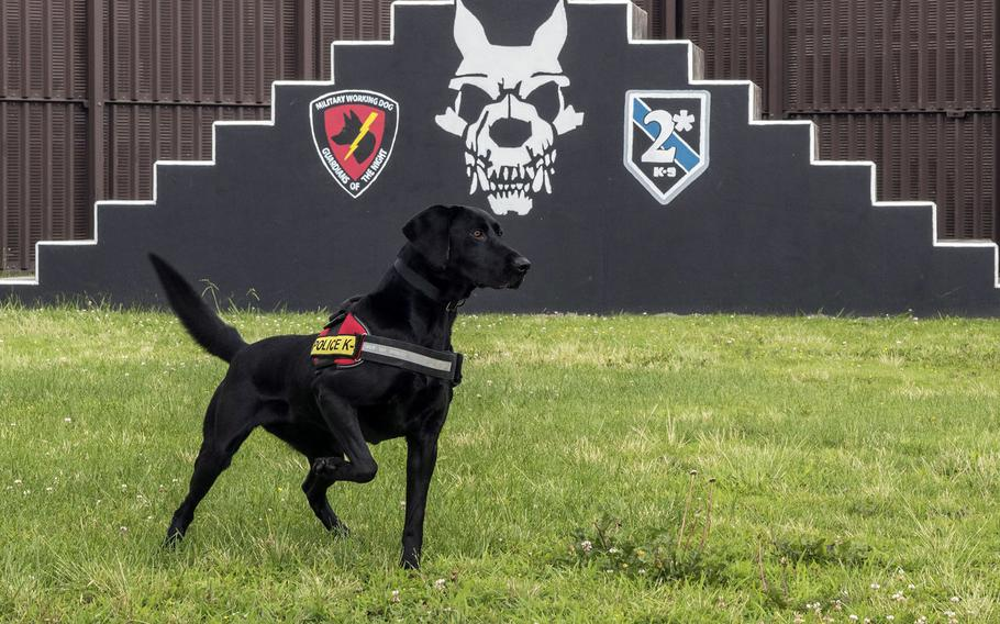 Splash, one of the newest military working dogs at Yokota Air Base in western Tokyo, searches for a tennis ball during training on June 25, 2021.