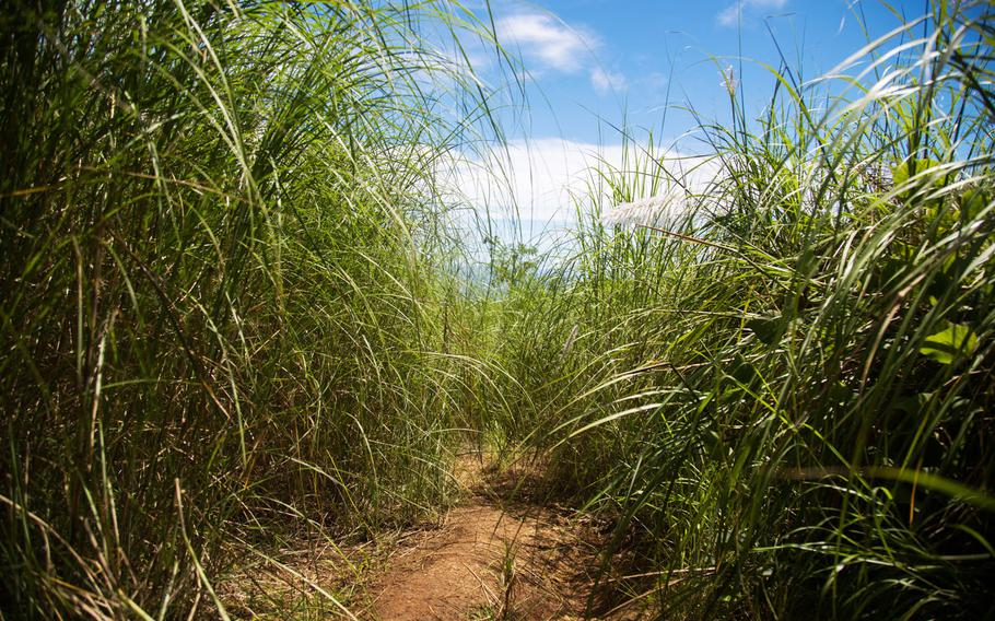 Sword grass engulfs the trail up to Mount Lamlam, Guam.