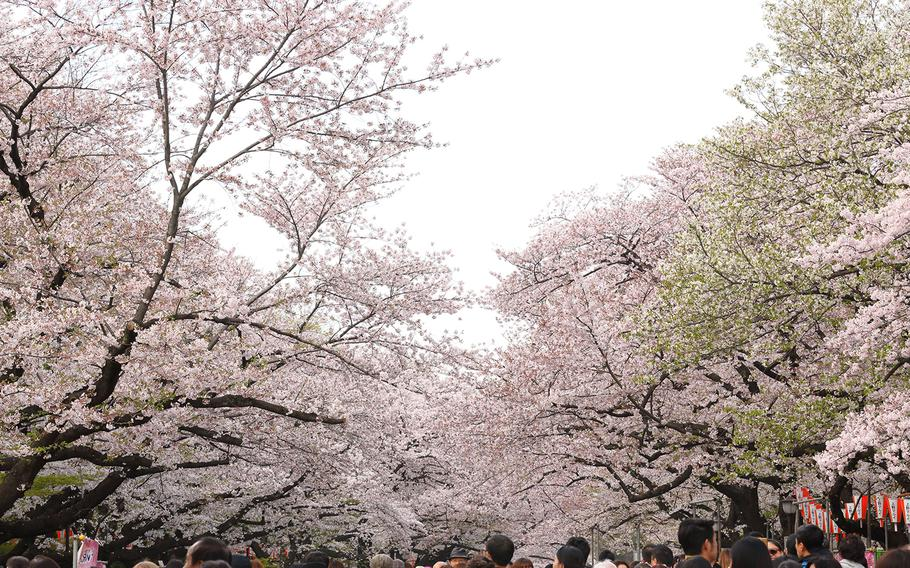 The Ueno Cherry Blossom Festival in Tokyo is one of many opportunities this season to celebrate the blossoms. The festival runs March 20-April 12.
