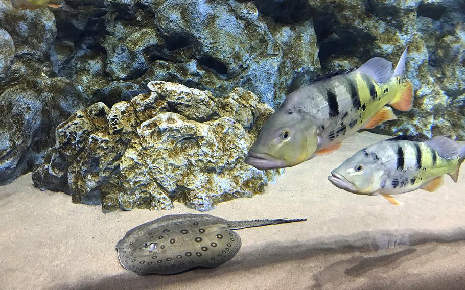 The brand new DMM Kariyushi Aquarium, located in the new Iias Okinawa Toyosaki mall in southern Okinawa, offers an alternative aquarium experience to Okinawa Churaumi Aquarium that is equally fun and entertaining for children and families.