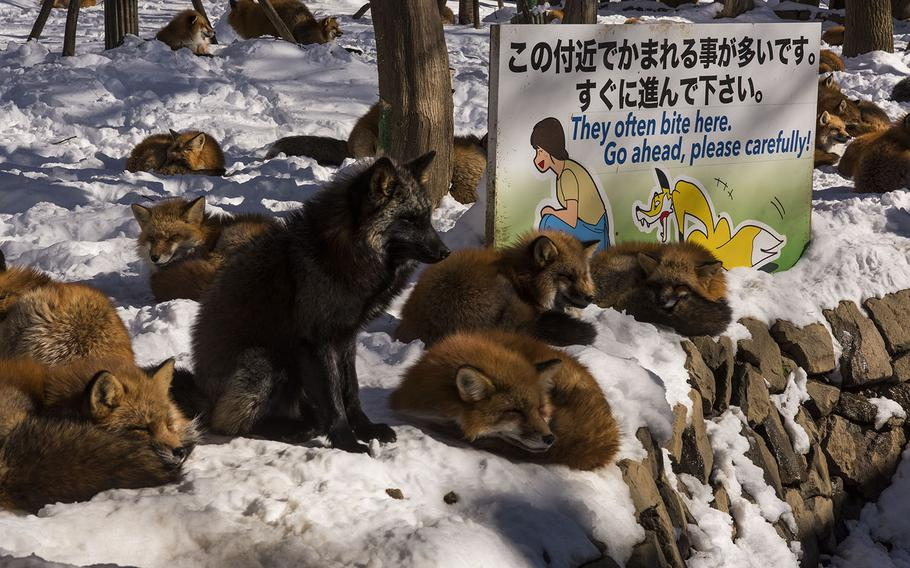 Foxes at Zao Fox Village in Shioisho, Japan, gather at the entrace hoping for a handout as visitors enter their sanctuary on Dec. 18, 2020.