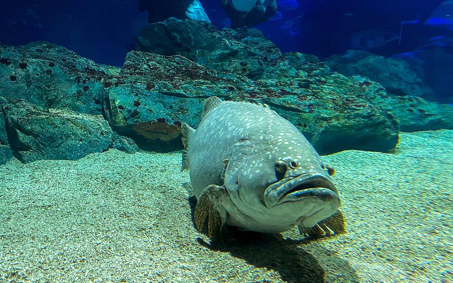 A giant grouper hangs out at the bottom of a 790,000 gallon tank at Sea Life Busan Aquarium in South Korea.