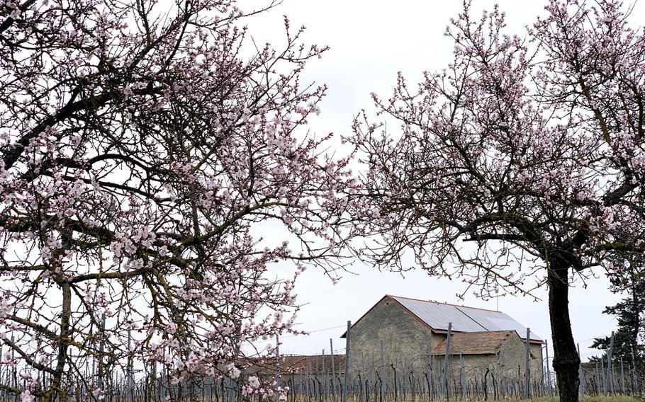 Almond trees in bloom March 23, 2021, line the German Wine Route on the northern edge of Bockenheim an der Weinstrasse, northeast of Kaiserslautern.