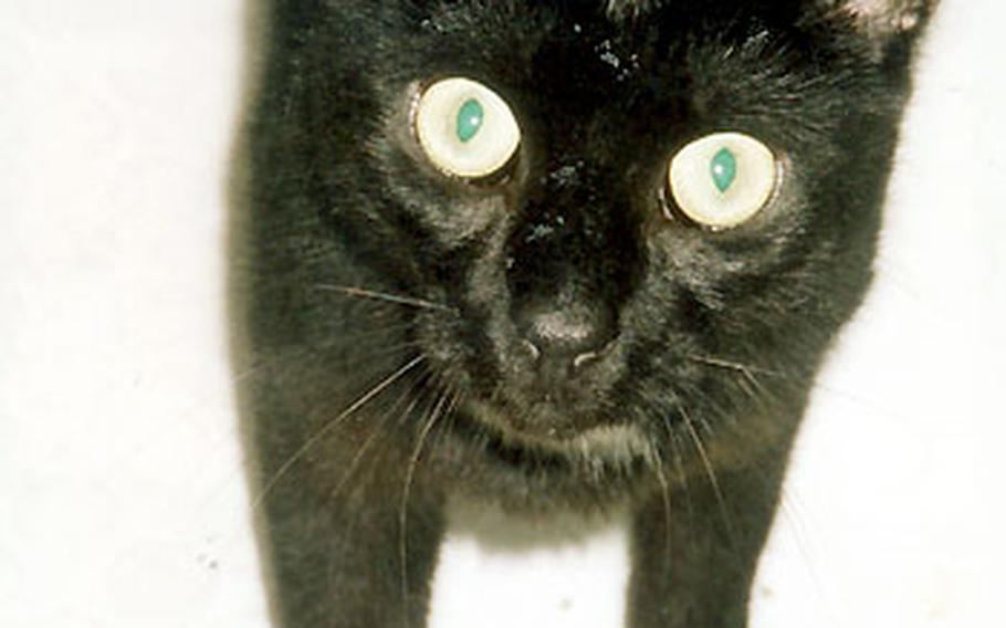 """""""Buddy"""" quickly regained his appetite after seven weeks as a lost and homeless cat."""