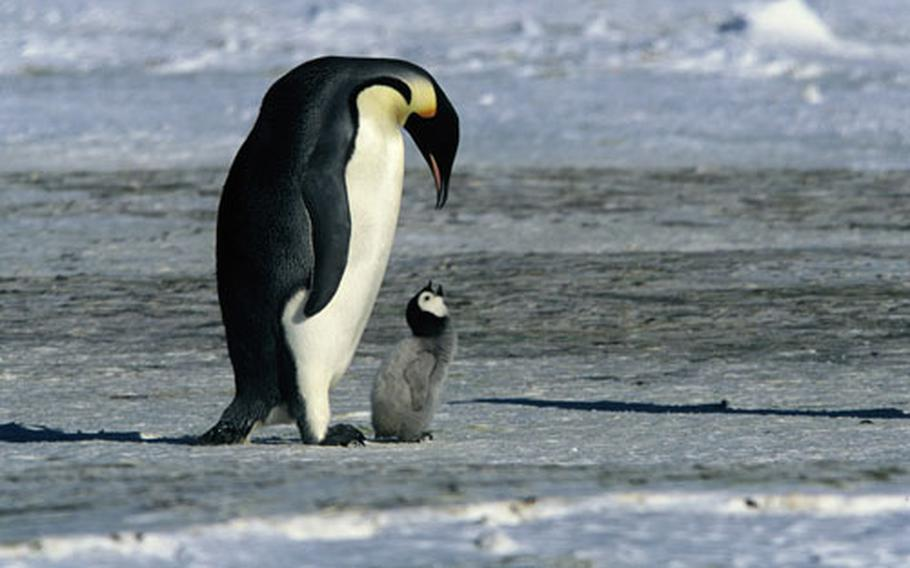 """See the incredible journey emperor penguins make in """"March of the Penguins."""""""