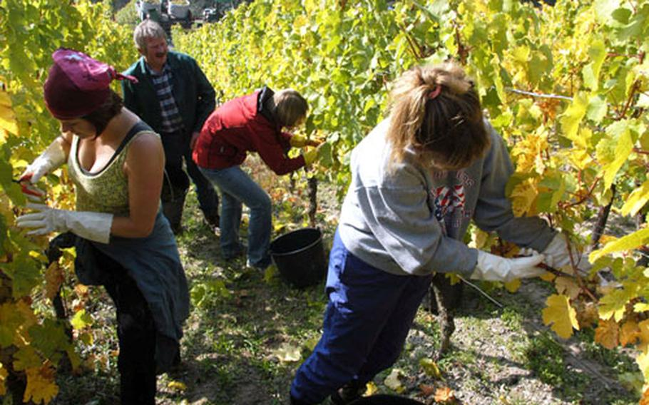 Vintner Helmut Rappenecker gives advice picking grapes to: Marie Muschek of Highland Falls, N.Y., left; Molly Motherly of Monmouth, Ill., center; and Natasha Foster of Satellite Beach, Fla. The women are members of the Wiesbaden Community Spouses Club.