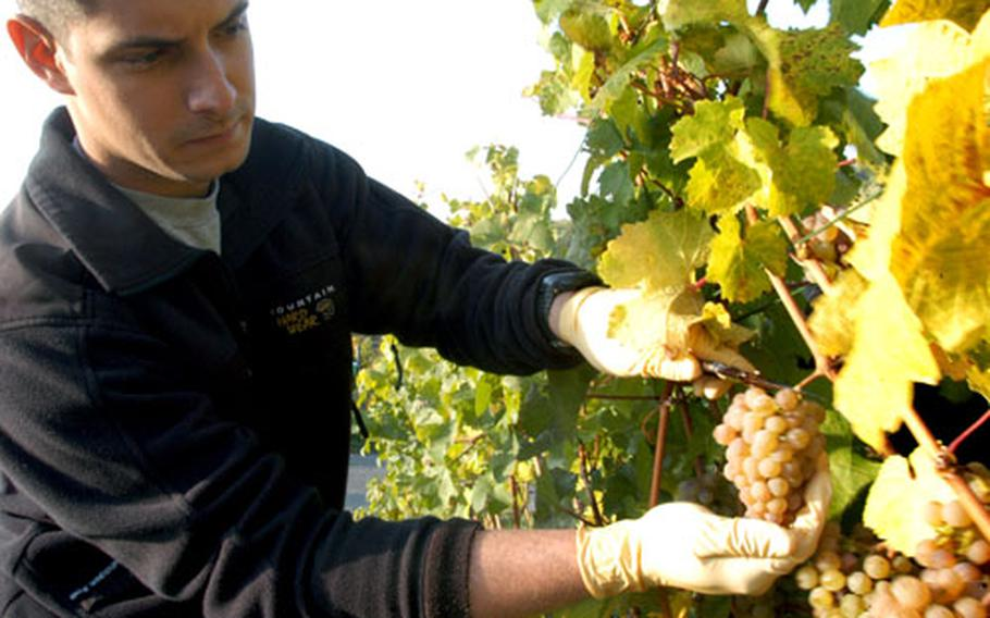 Senior Master Sgt. Eric Kibby of the Wiesbaden Army Airfield's 1st Air Operations Support Squadron gently cuts a Riesling grape in Rappenecker's vineyard.