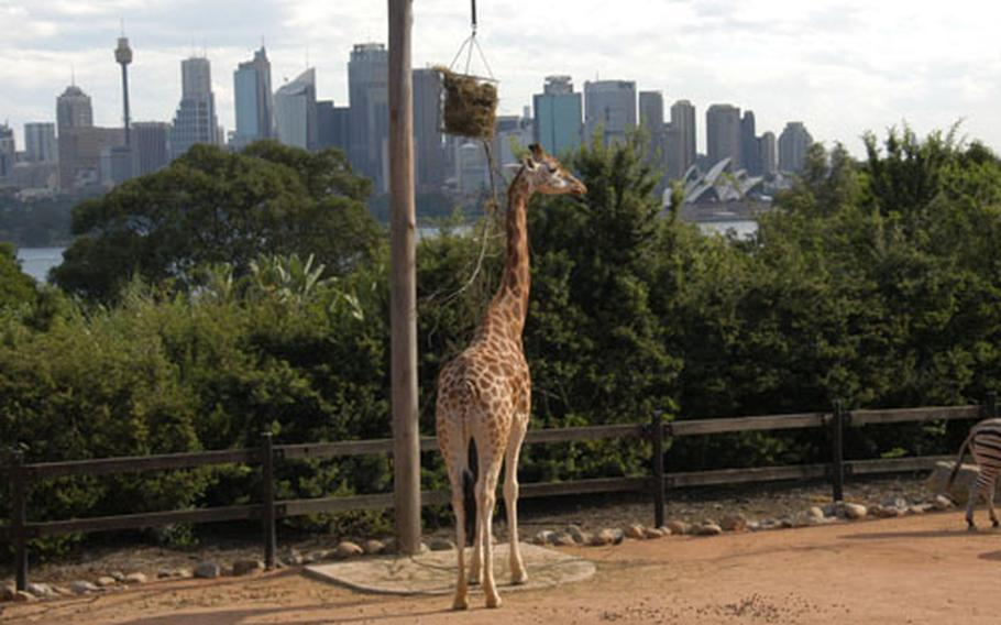 With the city skyline as a backdrop, a giraffe gets a bite to eat at Taronga Zoo.