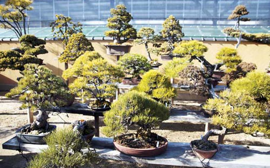The bonsai village in Saitama is one of the best places to see examples of bonsai.