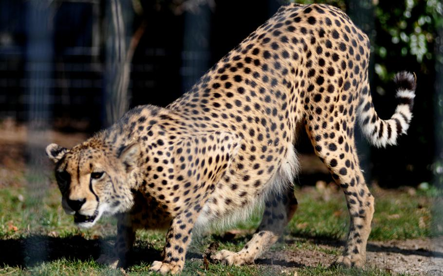 A cheetah watches children walk by its enclosure at the zoo and botanical garden. The park also has lions, jaguars, tigers and many other beast of prey.