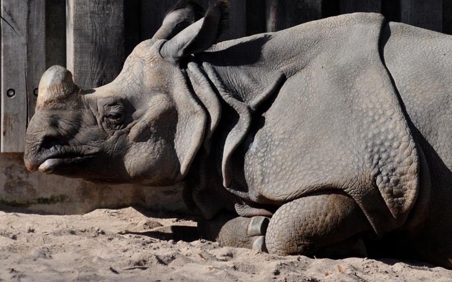 An Indian rhinoceros bask in the sun . Indian rhinos are endangered with about 2,400 left in the wild, according to signs near their enclosure in the park.