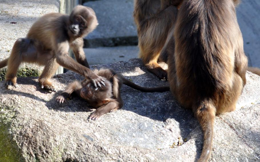The park is home to a band of about 32 Gelada baboons. Geladas are an endangered species.