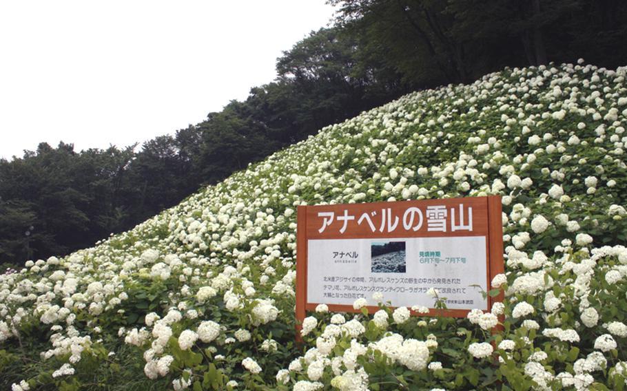 Visit the hydrangea garden at Tokyo Summerland now through July 10.