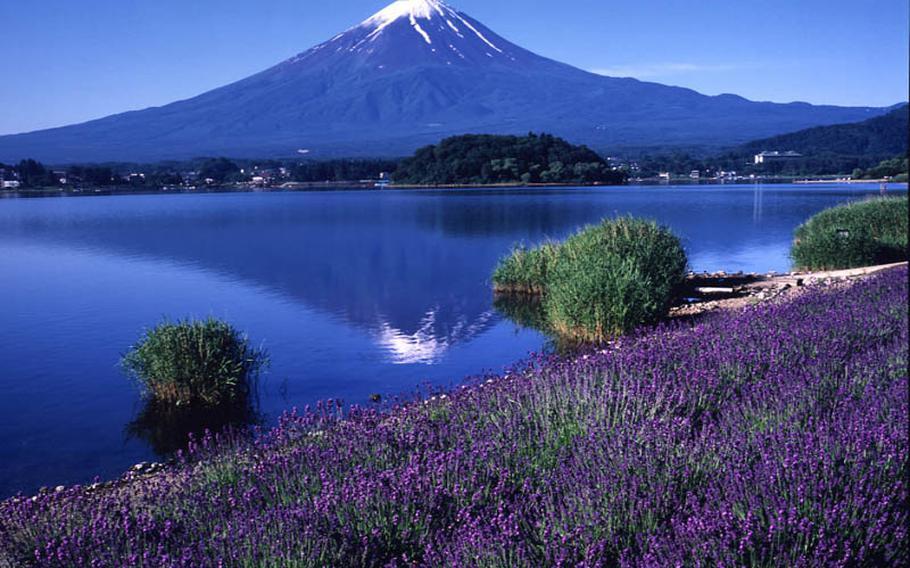 June 17-July 10, see more than 100,000 lavender plants near scenic Mount Fuji June 17-July 10 at Lake Kawaguchi Herb Festival.