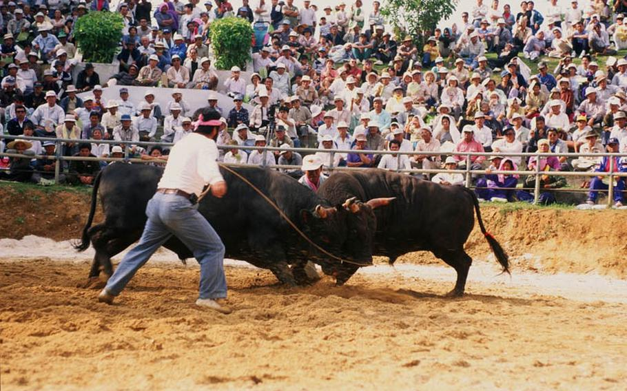 Okinawa bullfighting is bull vs. bull. There are about 15 bull fighting tournaments throughout the year on Okinawa.