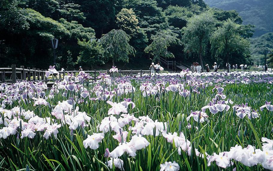 Now through June 30, visit Yokosuka Iris Garden, which boasts 412 varieties and 170,000 irises in the 3.8 hectre site. The garden is the largest iris garden in the Orient. In addition to iris, it has wisterias, hydranges and rhododendrons. It is located at Kinugasa district of Yokosuka City.