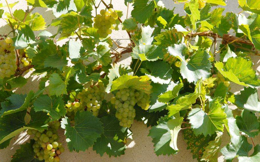 Grapes grow on the side of a hotel in Andlau. They were delicious.