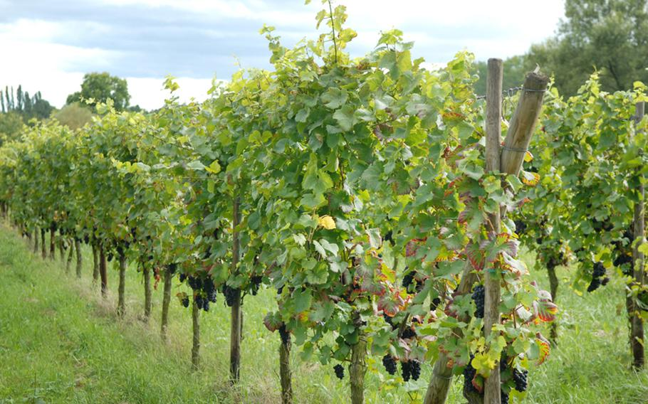 Vineyards are everywhere in Alsace.