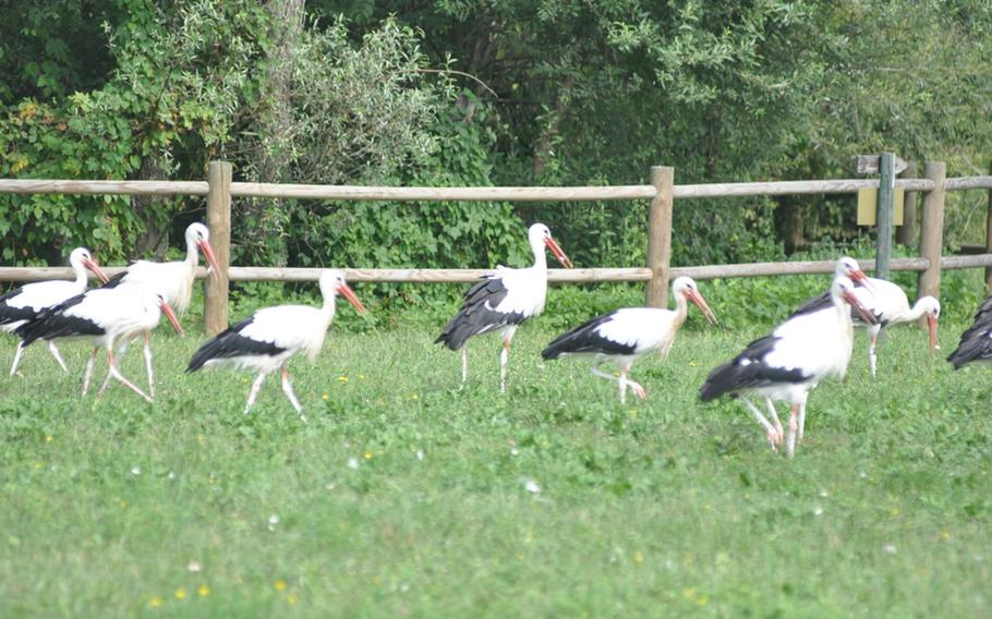 White Storks leisurely walk in grassland at the Oasi dei Quadris nature preserve outside of Fagagna. The center has been caring for the birds since it opened in 1989 in the hopes of increasing the population in southern Europe.