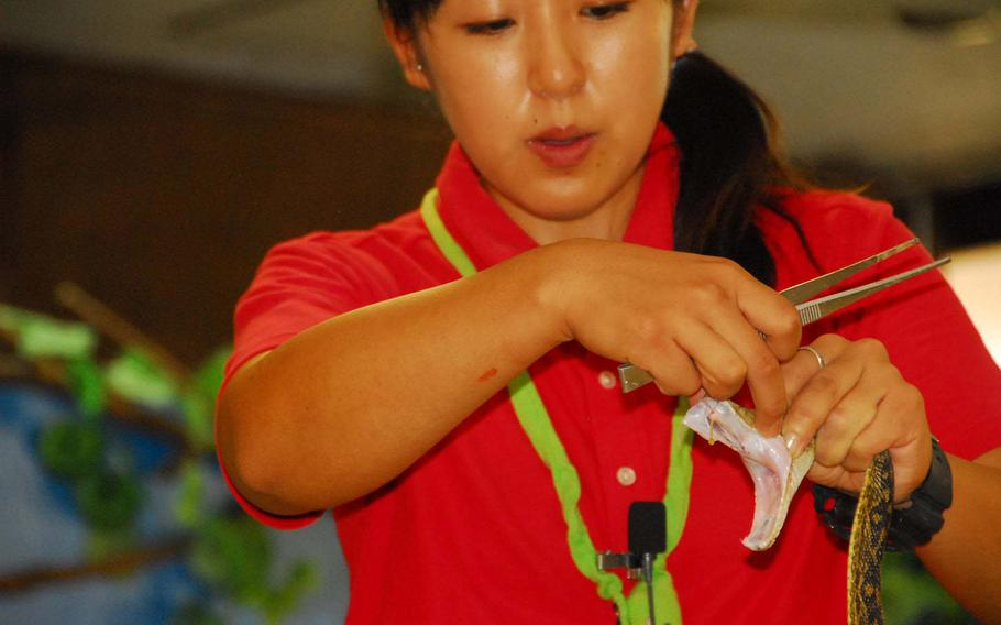 A park employee squeezes venom from a habu during Okinawa World's snake show.